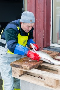 A local fisherman cutting the fish in northern Norway.