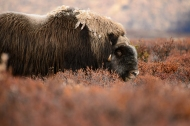 Another lone musk-ox. Shot with Nikon D4s and Nikon AF-S 500mm F/4G ED VR @ 1/1250sec, f/5.6, ISO 1600.