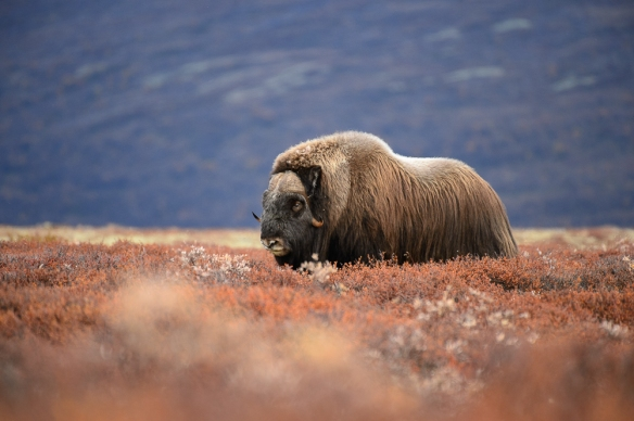 A lone musk-ox in the mountains. Shot with Nikon D4s and Nikon AF-S 200-500mm F/5.6E ED VR @ 500mm, 1/1000sec, f/5.6, ISO 1600.