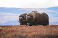 A pair of older musk-oxen. Shot with Nikon D4s and Nikon 300mm F/4E PF ED VR @ 1/125sec, f/5.6, ISO 1600.